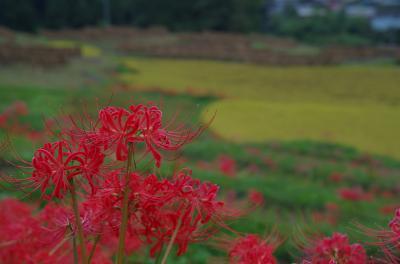 2018年9月 彼岸花を見に(その2)~寺坂棚田へ