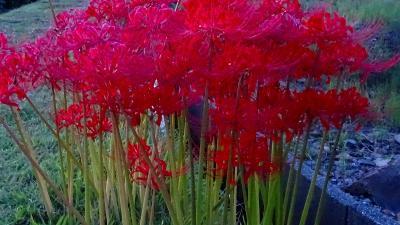 早朝散歩 宝塚市中筋3丁目に彼岸花を探して 上巻。