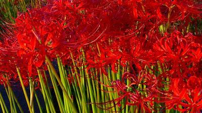 早朝散歩 宝塚市中筋3丁目に彼岸花を探して 下巻。