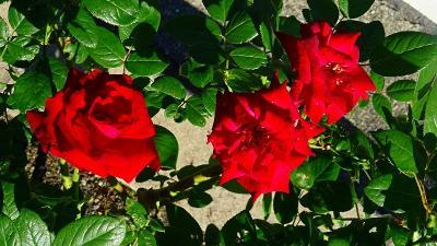 通院の序に、荒牧バラ公園の秋バラの開花状況を確認しました。