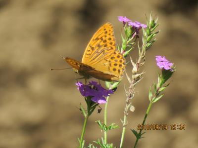 森のさんぽ道で見られた蝶(31)