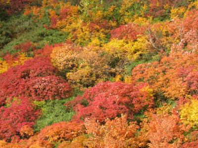 日本で一番早い紅葉(大雪高原沼)