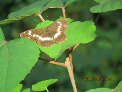 森のさんぽ道で見られた蝶(32)台風24号の影響が見られた