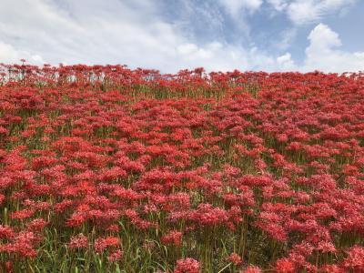 名鉄ハイキング 300万本の彼岸花が咲きほこる矢勝川と半田赤レンガ建物コースに参加しました