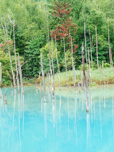 北海道ドライブ(3) 旭川・居酒屋で「男山」==美瑛町・「青い池」==「四季彩の丘」