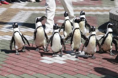 1年ぶりのアドベンチャーワールド~秋のレッサーパンダ遠征解禁~(4)ペンギン王国と海獣館の仲間たち編:ペンギンパレードや食事タイムのペンギンとラッコ&1年ぶりですっかり見分けがつかなくなったホッキョクグマ