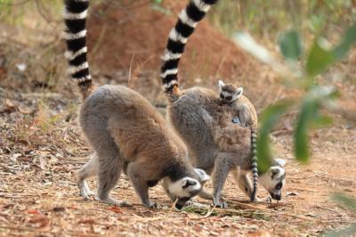マダガスカルゆったり周遊12日間のツアーに参加 行ってきました! №3 アンタナナリボ観光編(世界遺産アンボヒマンガ~レミュールパーク)