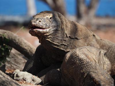 超危険なコモドドラゴンに会いたくて!その2コモド島、リンチャ島