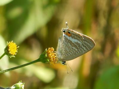 森のさんぽ道で見られた蝶(34)10月6日は夏のような天気でした