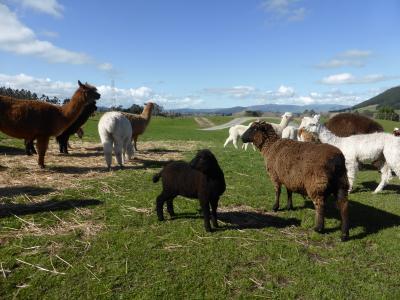 オークランドからロトルアへ 幻想的な土ボタル、癒しの羊とアルパカ、そしてマオリ文化