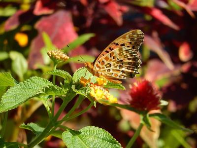 西武百貨店9階の「食と緑の空中庭園」の中にある「睡蓮の庭」で見られた蝶