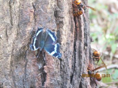 森のさんぽ道で見られた蝶(35)