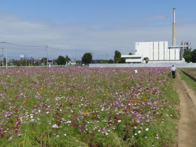 羽生市三田ヶ谷地区のコスモス_2018_綺麗に咲いて、見頃間近です。(埼玉県。羽生市)