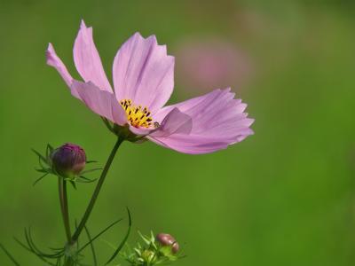 コスモスが咲き始めたひまわりの丘公園