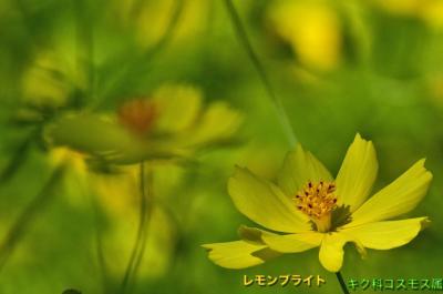 木曽三川公園センターにて秋桜「秋の花物語」