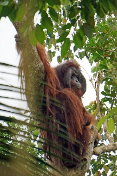 ANA羽田発着「満喫マレーシア縦断の旅6日間」(4)キャメロンハイランドからケリーズ・キャッスルとペラトン洞窟を経てオランウータン保護島へ。