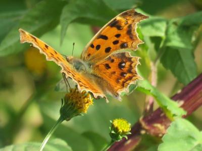 森のさんぽ道で見られた蝶(36)久しぶりの晴天に飛翔する蝶たち