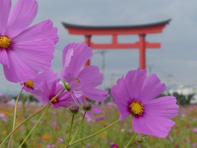 小泉町のコスモス_2018(2)_白、ピンク系の花が沢山咲いています。(群馬県・伊勢崎市)