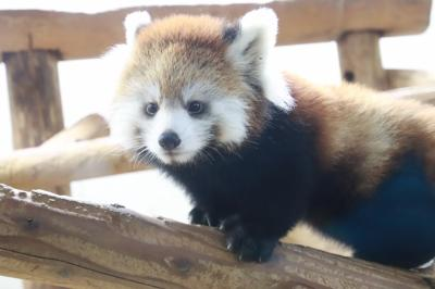埼玉こども動物自然公園で今年もレッサーパンダの赤ちゃん誕生~公開2日目のハナビちゃんとソウソウくんの次女でみやびちゃんの妹~北園中心に回った肌寒いスロースタートの秋