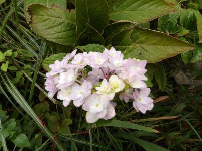 秋に咲く紫陽花-2018年