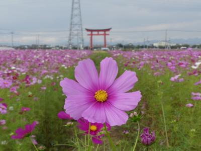小泉町のコスモス_2018(3)_東側に新たなコスモス畑、高い密生度が見事(群馬県・伊勢崎市)