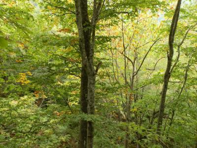 世界自然遺産25周年の白神山地を行く