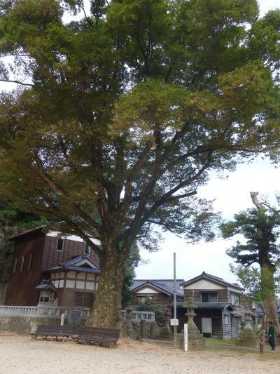 佐津温泉沖野神社の大けやき。香美町の天然記念物です。