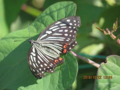 森のさんぽ道で見られた蝶(38) 久しぶりにアカボシゴマダラを見ました