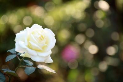 台風を乗り越えた智光山公園の秋バラたち
