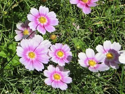 秋晴れに誘われ、大阪万博記念公園・自然文化園の花の丘で、「コスモス三昧」の一日を過ごす。(2018)