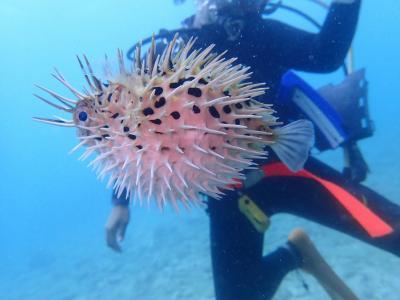 沖縄2018秋(10)読谷村ダイビングはコクテンフグ、ハリセンボン、ミナミハコフグ幼魚。ランチは濃厚海老ラーメン