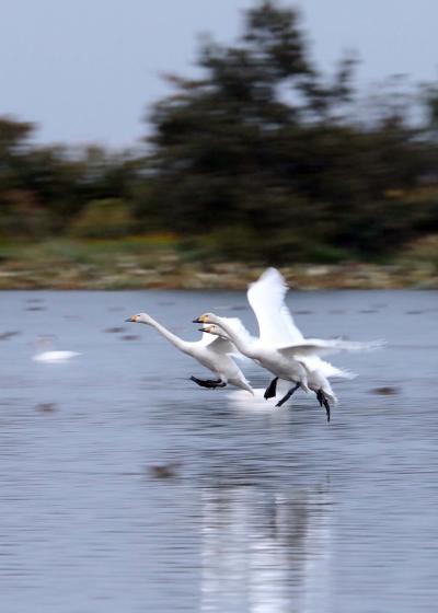 野鳥撮影記録2018年-10月   福島潟・瓢湖