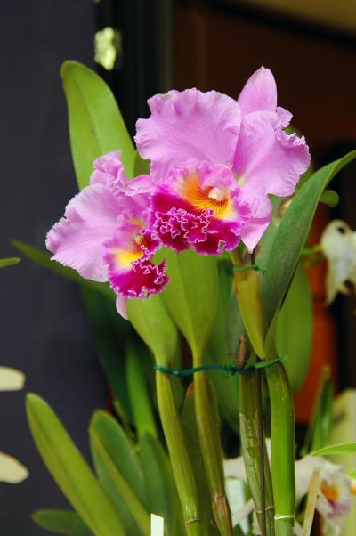 京都八幡市文化祭~蘭花(カトレア)展