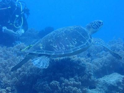 沖縄2018秋(12)嘉手納町、読谷村沖ダイビング。おいしそうなイカやかわいいウミガメ!