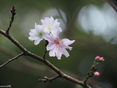秋の鎌倉花散歩:東慶寺の十月桜