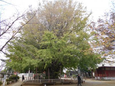 還暦過ぎ、七十路(ななそじ)前の一人旅、坂東三十三か所札所めぐり6回目、千葉寺の銀杏が大きい!