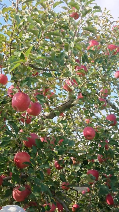 「長野行く、行く~!」リンゴ狩り~(*'ω'*)【2018.11】…