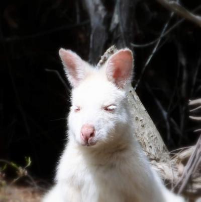 ②ブルーニー島で白いワラビーさんこんにちは(≧▽≦)!