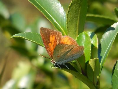 川越市下松原地区で見られた蝶・・その⑥