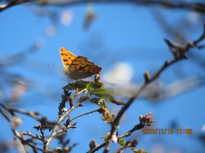 十月桜に止まっているキタテハ