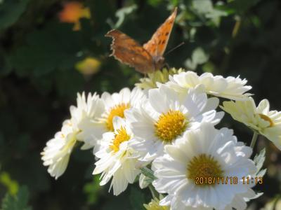 川越市下松原地区で見られた蝶・・その⑦
