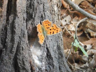 森のさんぽ道で見られた蝶(41)