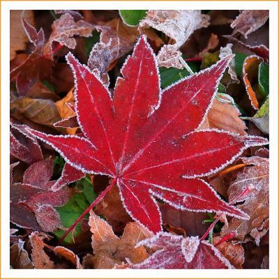 Solitary Journey[1963]氷点下2℃!霜で白く縁取られた紅葉を切り撮ってきました。<標高800mの八幡高原>広島県北広島町