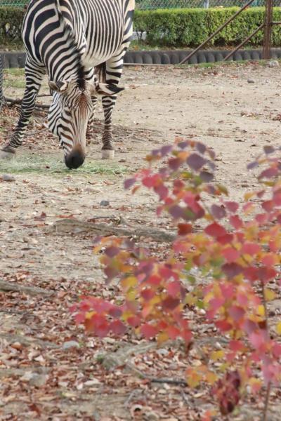 秋の埼玉こども動物自然公園で赤ちゃん詣(前編)ほんのり紅葉と動物園&アニマルアートの動物かるたや動物園いろいろ~少しだけ紅葉と動物写真にもチャレンジ!