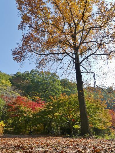 織姫山もみじ谷の紅葉_2018_だいぶ色付いています。(栃木県・足利市)