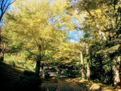 11月15日の横浜市児童遊園地の銀杏の黄葉と、こども植物園の秋薔薇