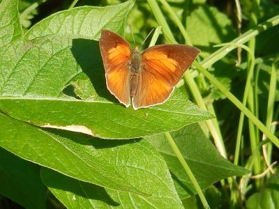 川越市下松原地区で見られた蝶・・その⑧