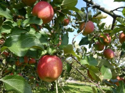栃木でりんご狩りとカフェ2018~矢板の農園と黒磯のカフェを訪ねて~