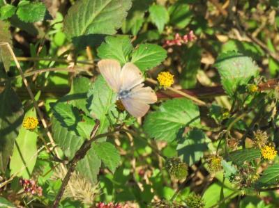 森のさんぽ道で見られた蝶(42)