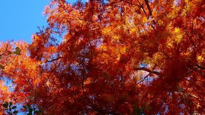 神戸市立森林植物園の紅葉 園内の紅葉 中巻。